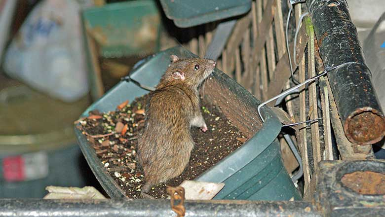 Rat in Flower Pot by New York Appartment