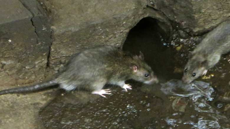Image result for rats in a sewer